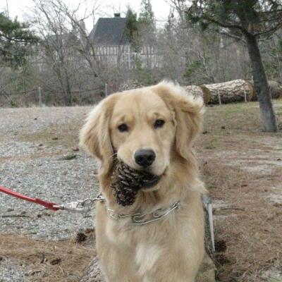 Callie, Golden Retriever, retrieving